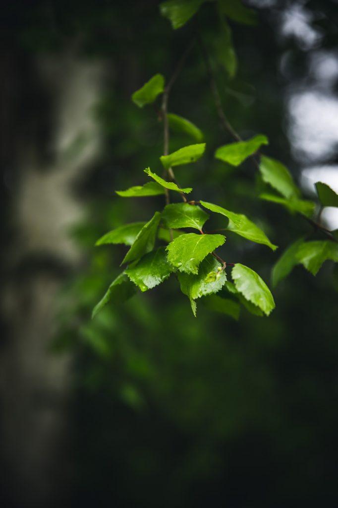 Birch leaves | The Adagio Blog | Thais FK Photographer Recipe Developer & Content Creator | Valokuvaaja Ruokataiteilija & Sisällöntuottaja Thais FK